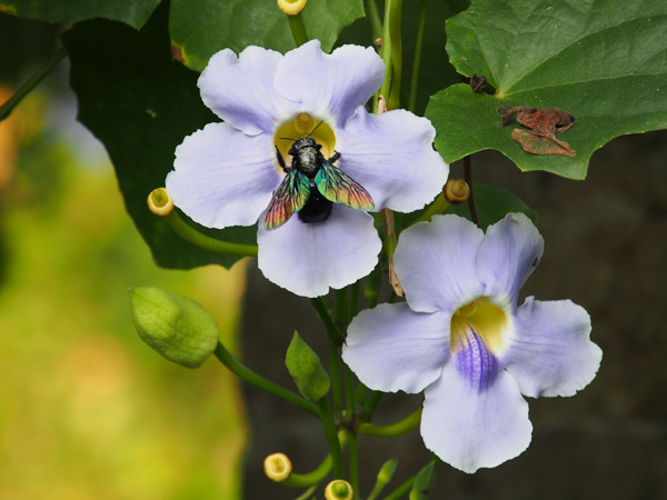 Tropical carpenter bee Xylocopa latipes