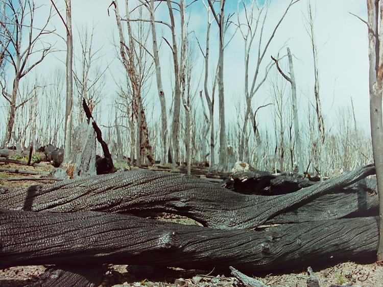 Burnt gums near Tidbinbilla