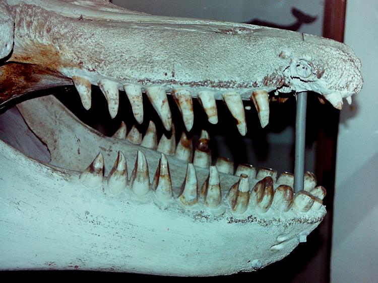 Old Tom's worn teeth