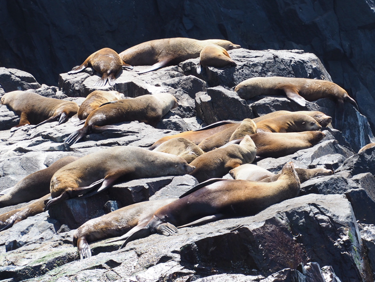 Colony of male Australian Fur Seals at Friar Rocks, South Bruny Island