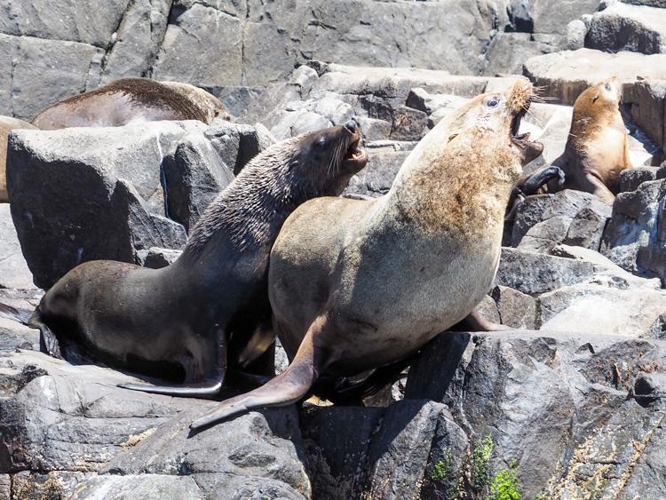 Male Australian Fur Seals acting cantankerous